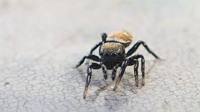 Aranha de salto que toca na água video estoque