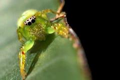 Aranha de salto verde Fotos de Stock Royalty Free