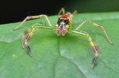 Aranha de salto verde Foto de Stock