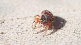 Aranha de salto vermelha que limpa seus pés do lado direito filme