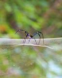 Aranha de tecelagem da esfera de seda dourada que espera em sua Web Foto de Stock