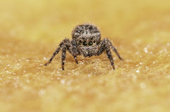 A aranha deixa cair o fundo amarelo Fotografia de Stock