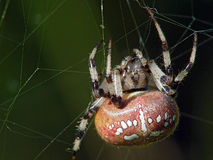 Aranha do Argiopidae da família Foto de Stock Royalty Free