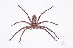 Aranha do caçador Imagens de Stock Royalty Free