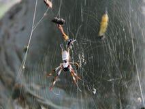 Aranha do caçador Fotos de Stock Royalty Free