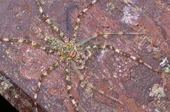 Aranha do caçador Fotos de Stock