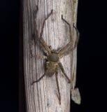 Aranha do caçador Imagens de Stock