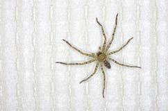 Aranha do caçador na casa Imagem de Stock