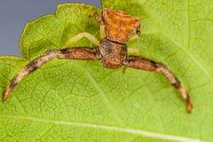 Aranha do caranguejo Imagem de Stock Royalty Free