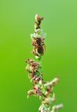 Aranha do caranguejo com rapina Foto de Stock