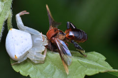 Aranha do caranguejo com rapina Imagem de Stock Royalty Free