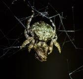 Aranha do caranguejo com rapina Fotografia de Stock Royalty Free