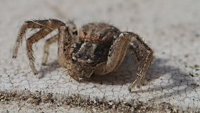 Aranha do caranguejo de Brown vídeos de arquivo