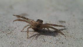 Aranha do caranguejo de Brown com braços abertos video estoque