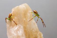 A aranha do caranguejo verde (dorsata de Diaea) foto de stock