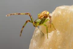 A aranha do caranguejo verde (dorsata de Diaea) imagem de stock