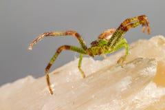 A aranha do caranguejo verde (dorsata de Diaea) Fotografia de Stock Royalty Free