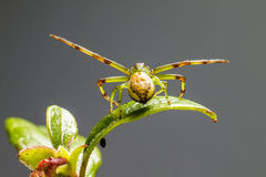 A aranha do caranguejo verde (dorsata de Diaea) fotografia de stock