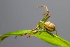 A aranha do caranguejo verde (dorsata de Diaea) Fotos de Stock