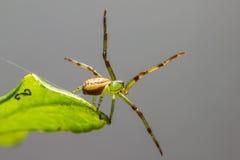 A aranha do caranguejo verde (dorsata de Diaea) imagem de stock royalty free