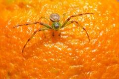 A aranha do caranguejo verde (dorsata de Diaea) imagens de stock
