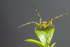 A aranha do caranguejo verde (dorsata de Diaea) Imagens de Stock Royalty Free