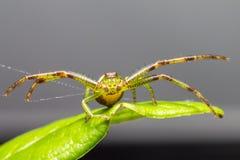 A aranha do caranguejo verde (dorsata de Diaea) Foto de Stock Royalty Free