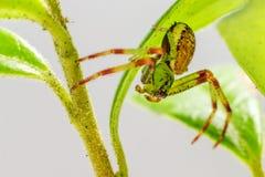 A aranha do caranguejo verde (dorsata de Diaea) fotos de stock royalty free