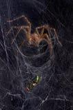 Aranha do fúnil em forma de teia de aranha com mosca Imagem de Stock