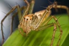 Aranha do lince Fotos de Stock