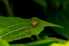 Aranha do lince na folha fotografia de stock