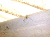 Aranha do lince oxyopidae da família Foto de Stock Royalty Free