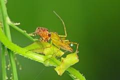 Aranha do lince que come uma aranha equipada com pernas marrom Imagens de Stock Royalty Free