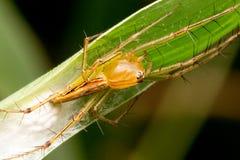 Aranha do lince que guarda seus ovos fotos de stock