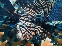 Aranha-do-mar Imagens de Stock