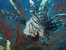 Aranha-do-mar Foto de Stock Royalty Free