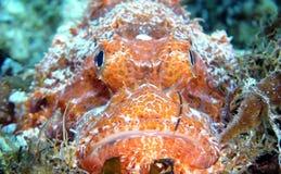 Aranha-do-mar Fotos de Stock