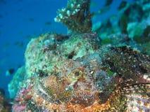 Aranha-do-mar Foto de Stock