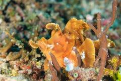 Aranha-do-mar da aleta da pá Foto de Stock
