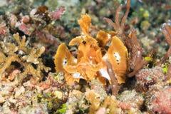 Aranha-do-mar da Pá-aleta Fotografia de Stock