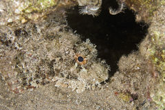 Aranha-do-mar farpada (barbatus do scorpaenopsis) fotografia de stock royalty free