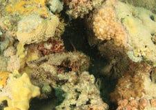 Aranha-do-mar Flathead escondendo fotografia de stock