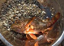 A aranha-do-mar fresca (Scorpaenidae) travou em uma bacia fotos de stock