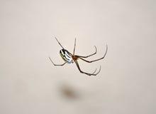 Aranha do pomar Fotos de Stock