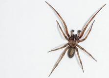 Aranha do simoni de Metaltella em um fundo branco Imagens de Stock