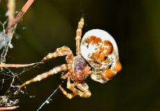 Aranha dos Bolas que faz uma Web Imagem de Stock Royalty Free