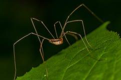 Aranha dos opiliões Foto de Stock