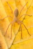 Aranha dos virescens de Micrommata na natureza Fotos de Stock