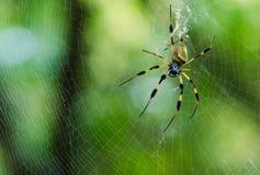 Aranha dourada da esfera-Web (clavipes de Nephila) Imagens de Stock