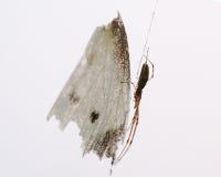Aranha e borboleta Imagem de Stock